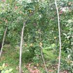 Трудная ноша урожая - яблоки на ветках и на земле